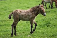El caballo de Przewalski, también Takhi, caballo salvaje asiático o caballo salvaje mongol llamado, es la única subespecie del ca Fotos de archivo libres de regalías