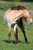 El caballo de Przewalski, también Takhi, caballo salvaje asiático o caballo salvaje mongol llamado, es la única subespecie del ca Fotos de archivo