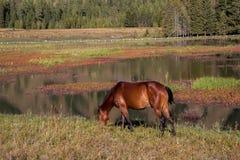 El caballo del Kanas Imagenes de archivo