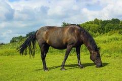 El caballo del marrón oscuro pasta en campo verde Foto de archivo libre de regalías