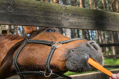 El caballo divertido come la zanahoria Fotografía de archivo libre de regalías