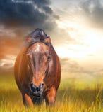 El caballo enojado con los oídos reclinó en un campo Imagen de archivo libre de regalías