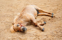 El caballo era soñoliento Fotografía de archivo libre de regalías