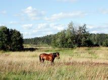 El caballo está en un prado Foto de archivo libre de regalías