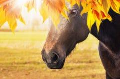 El caballo está mirando a través de las hojas de otoño Fotos de archivo libres de regalías