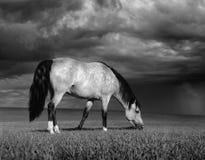 El caballo gris en un prado antes de una tempestad de truenos Foto de archivo