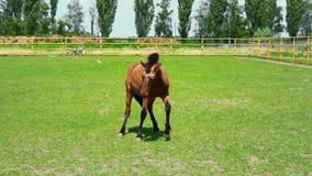 El caballo hermoso de Brown saca y corre abajo del prado al aire libre El caballo muestra su genio metrajes