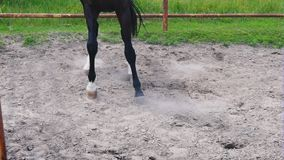 El caballo hermoso oscuro saca y corre abajo del prado al aire libre El caballo muestra su genio metrajes