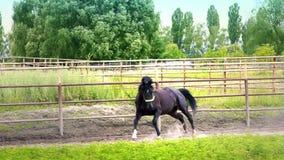 El caballo hermoso oscuro saca y corre abajo del prado al aire libre El caballo muestra su genio almacen de video