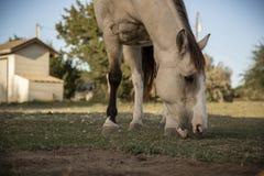 El caballo hermoso pasta el pasto del país de la colina fotografía de archivo