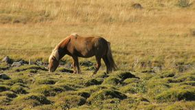 El caballo islandés rojo con la melena brillante está pastando en un prado en día soleado y está saliendo de marco almacen de video