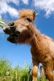 El caballo joven está comiendo la hierba Foto de archivo libre de regalías