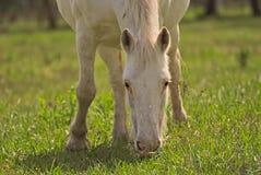 El caballo libera en un campo en la Argentina foto de archivo