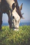 El caballo ligero hermoso pasta en prado por otoño Fotos de archivo libres de regalías