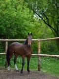 El caballo marrón hermoso se coloca detrás de una cerca Imagen de archivo