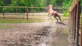 El caballo marrón joven con el carácter obstinado corre en el prado metrajes