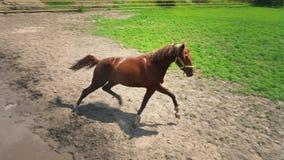 El caballo marrón joven con el carácter obstinado corre en el prado almacen de metraje de vídeo
