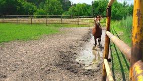 El caballo marrón joven hermoso corre a través de un charco a lo largo del corral de la cerca del hierro, para y mira fijamente almacen de metraje de vídeo