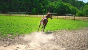 El caballo marrón joven hermoso se asusta algo saca y corre abajo del prado almacen de metraje de vídeo