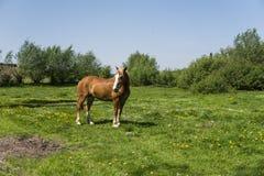 El caballo marrón solo en una cadena que pasta en pasto verde con un amarillo florece contra el cielo azul y árboles farming imagen de archivo libre de regalías