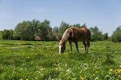 El caballo marrón solo en una cadena que pasta en pasto verde con un amarillo florece contra el cielo azul y árboles farming fotos de archivo