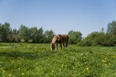 El caballo marrón solo en una cadena que pasta en pasto verde con un amarillo florece contra el cielo azul y árboles farming imagen de archivo