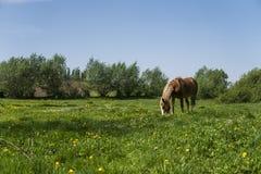 El caballo marrón solo en una cadena que pasta en pasto verde con un amarillo florece contra el cielo azul y árboles farming foto de archivo libre de regalías