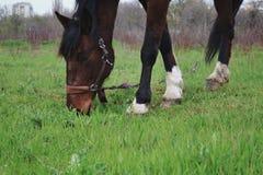 El caballo marrón solo se coloca en el campo contra la perspectiva de Imagen de archivo libre de regalías