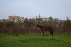 El caballo marrón solo se opone en el campo al fondo Foto de archivo libre de regalías
