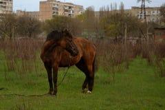 El caballo marrón solo se opone en el campo al fondo Fotografía de archivo libre de regalías