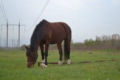 El caballo marrón solo se opone en el campo al fondo Fotos de archivo libres de regalías