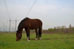 El caballo marrón solo se opone en el campo al fondo Imágenes de archivo libres de regalías