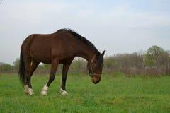 El caballo marrón solo se opone en el campo al fondo Imagen de archivo libre de regalías