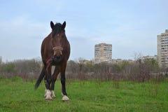 El caballo marrón solo se opone en el campo al fondo Imagenes de archivo