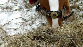 El caballo mastica el heno en tiempo real metrajes