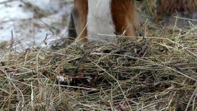 El caballo mastica el heno en tiempo real almacen de video
