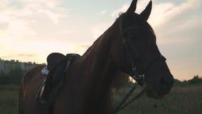 El caballo mastica la hierba almacen de video
