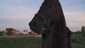 El caballo mastica la hierba almacen de metraje de vídeo