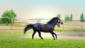 El caballo negro empieza para arriba y corre a lo largo de la cerca del hierro del prado, la carrera de caballos metrajes