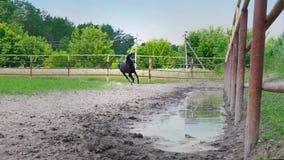 El caballo negro empieza para arriba y corre a lo largo de la cerca del hierro del prado, la carrera de caballos almacen de metraje de vídeo