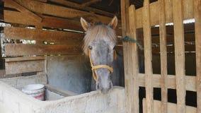 El caballo negro en el establo del caballo muerde la cerca almacen de video