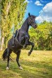 El caballo negro hermoso se coloca en sus piernas traseras en naturaleza foto de archivo