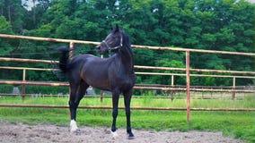 El caballo negro que se coloca en el corral en un fondo de árboles verdes metrajes