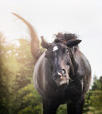 El caballo negro sacude y tiene cara divertida, retrato, cierre para arriba Imagen de archivo