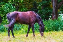 El caballo oscuro camina en el parque imagen de archivo libre de regalías
