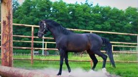 El caballo oscuro obstinado en el prado debajo del cielo abierto El caballo muestra su genio metrajes