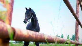 El caballo oscuro obstinado en el prado debajo del cielo abierto El caballo muestra su genio almacen de video