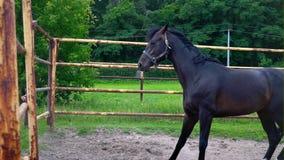 El caballo oscuro obstinado en el prado debajo del cielo abierto El caballo muestra su genio almacen de metraje de vídeo