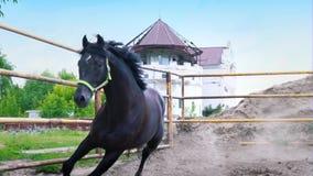 El caballo oscuro obstinado que galopa en el prado debajo del cielo abierto El caballo muestra su genio almacen de video