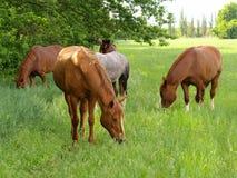 El caballo pasta Fotografía de archivo libre de regalías